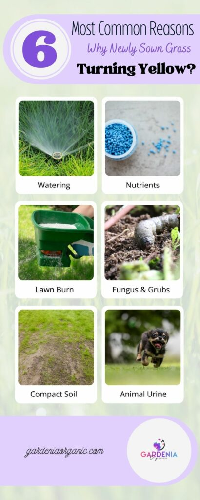 Reasons on why newly sown grass turning yellow