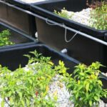 Wicking Bed Aquaponics Guide