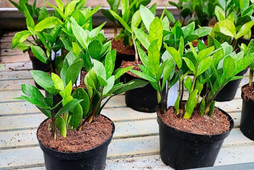 ZZ plant for office without windows